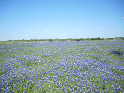 bluebonnet clip art. Bluebonnets In Texas.